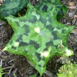 Podophyllum 'Kaleidoscope'