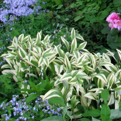 Polygonatum 'Double Stuff'