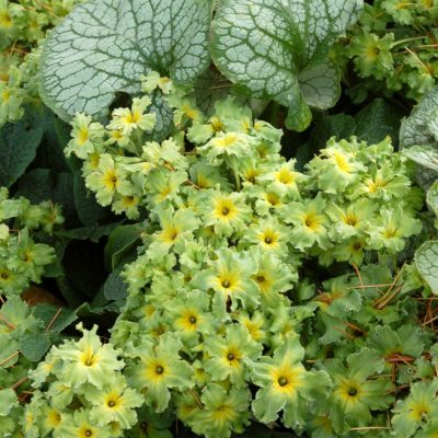 Primula 'Green Lace'