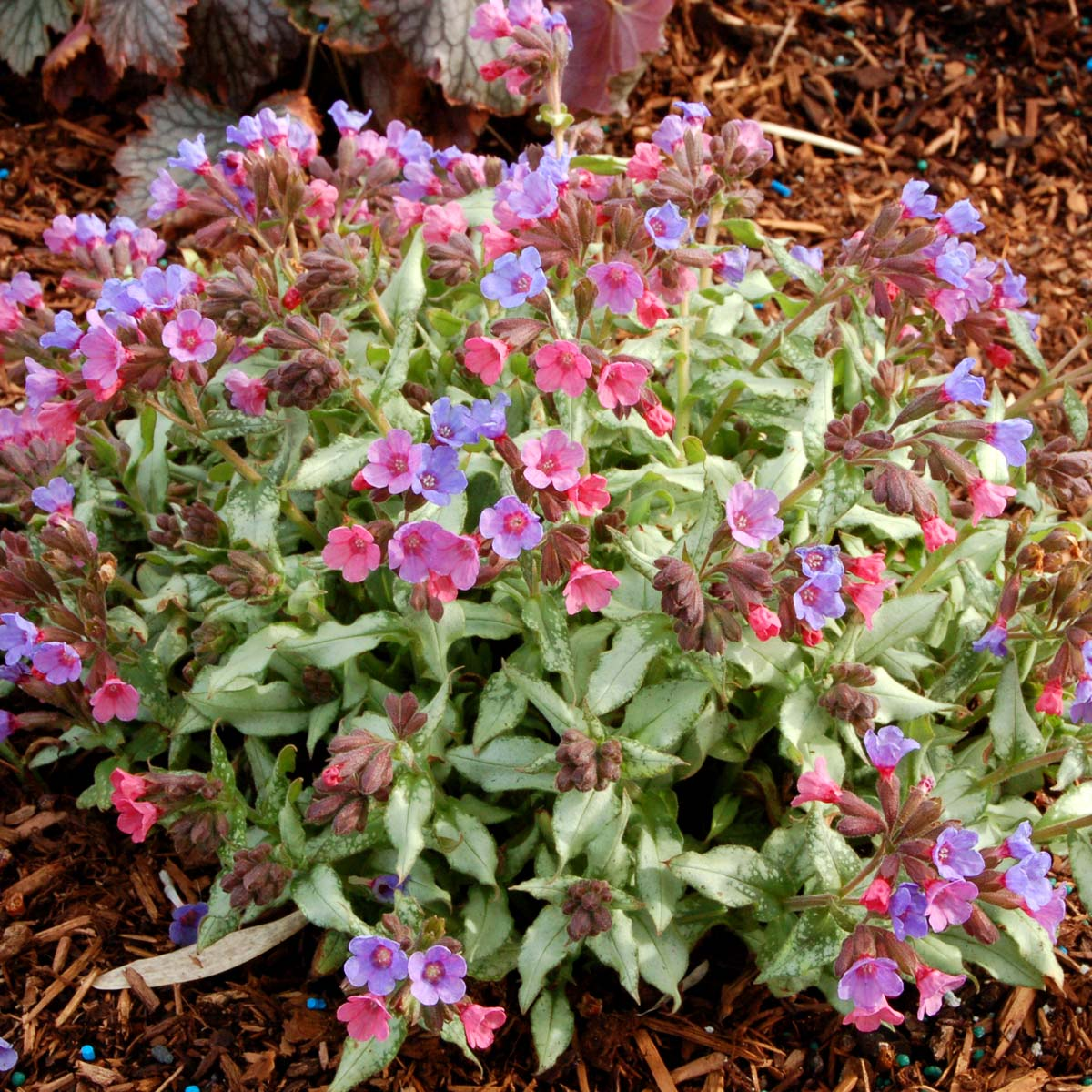Pulmonaria 'Berries and Cream'