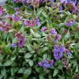 Pulmonaria 'May Bouquet'