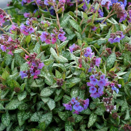 Pulmonaria 'May Bouquet'