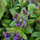 Pulmonaria 'Polar Splash'