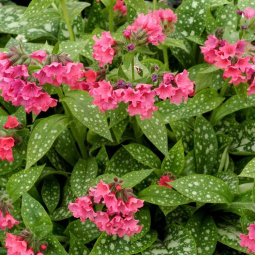 Pulmonaria 'Shrimps on the Barbie'