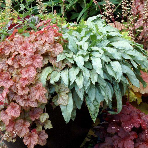 Pulmonaria Silver Bouquet Terra Nova Nurseries Inc