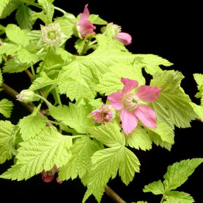 Rubus 'Golden Ruby'