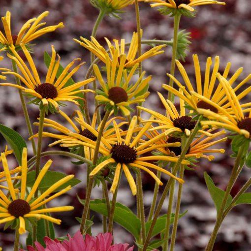 RUDBECKIA SUBTOMENTOSA DORMANT SWEET CONEFLOWER STARTER PLANT-CUT BACK