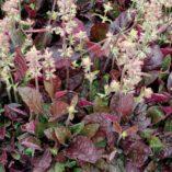 Salvia 'Burgundy Bliss'