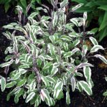 Salvia 'Silver Sabre'