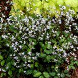 Sanicula caerulescens