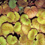 Saxifraga 'Harvest Moon'