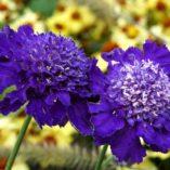 Scabiosa 'Ultra Violet'