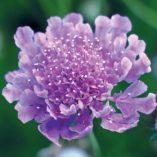 Scabiosa 'Vivid Violet'