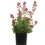 Scrophularia CARDINALE™ Red