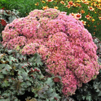Sedum 'Beach Party'
