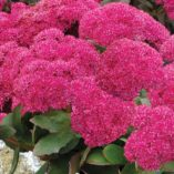 Sedum 'Birthday Party'