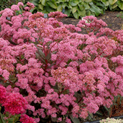 Sedum 'Cloud Walker'