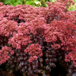 Sedum 'Dark Magic'