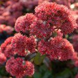 Sedum 'Desert Red'