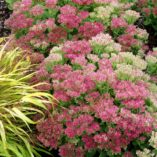 Sedum 'Hot Stuff'