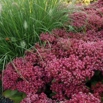 Sedum 'Mr. Goodbud'