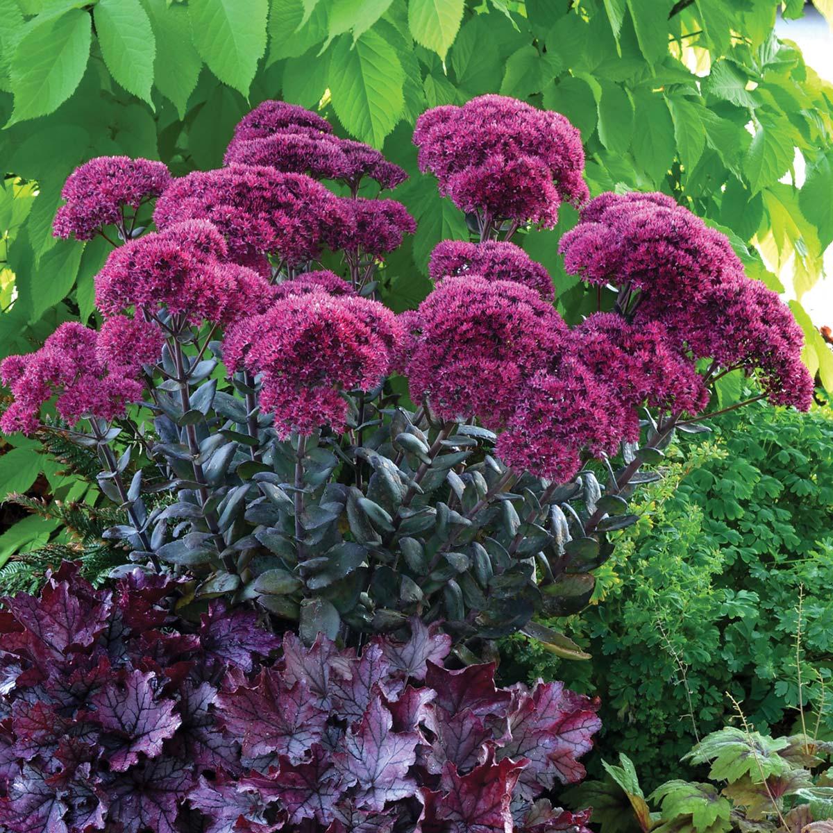 Sedum thunderhead terra nova nurseries inc sedum thunderhead altavistaventures Image collections
