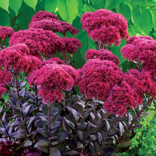 Free Sedum Thunderhead With Sedum