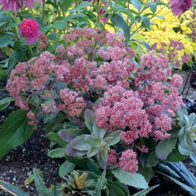 Sedum 'Touchdown Breeze'