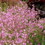 Silene 'Valley High'