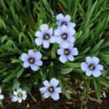 Sisyrinchium 'Devon Skies'