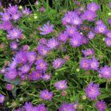 Stokesia 'Purple Pixie'