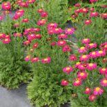 Tanacetum RADIANT™ Deep Pink