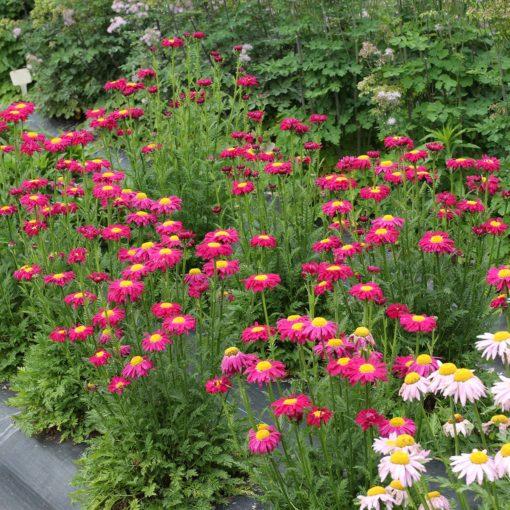 Tanacetum RADIANT™ Deep Pink | TERRA NOVA® Nurseries, Inc.