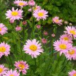Tanacetum RADIANT™ Light Pink