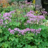 Thalictrum 'Black Stockings'