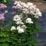 Thalictrum 'Black Stockings White'