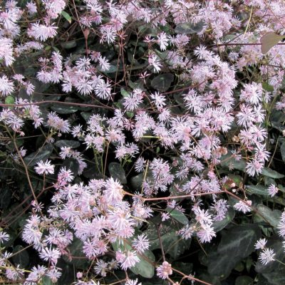 Thalictrum 'Evening Star'