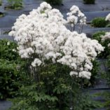 Thalictrum NIMBUS™ White