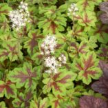 Tiarella 'Crow Feather'