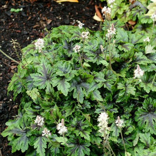 Tiarella 'Neon Lights'