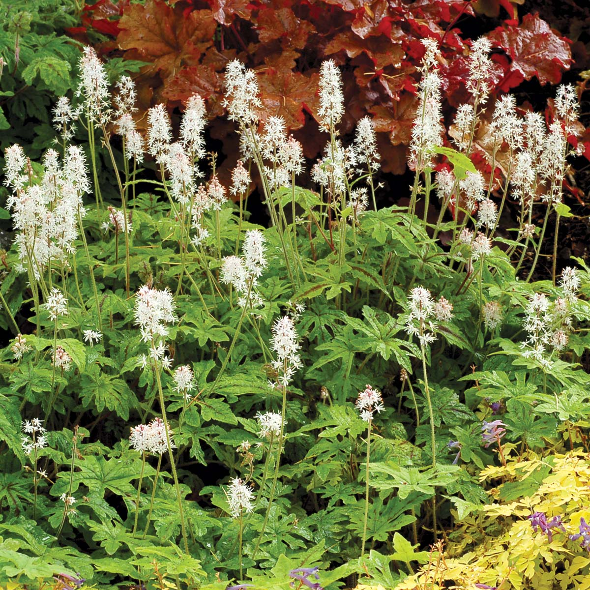 Tiarella 'Oregon Trail'