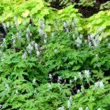 Tiarella 'Oregon Trail'