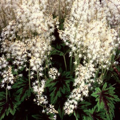 Tiarella 'Sea Foam'