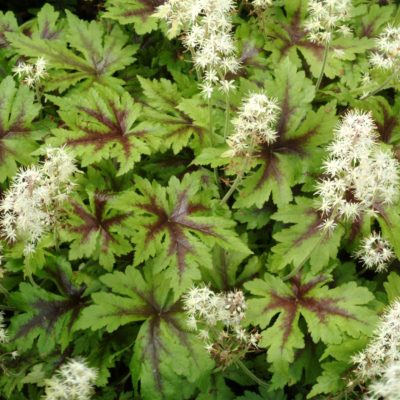 Tiarella 'Sugar and Spice'