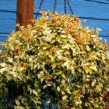 Trachelospermum 'Gold Brocade'
