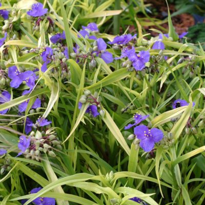 Tradescantia 'Blue and Gold'