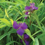 Tradescantia 'Regal Charm'