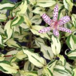 Tricyrtis 'Imperial Banner'