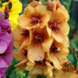 Verbascum 'Honey Dijon'