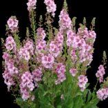Verbascum 'Lavender Lass'